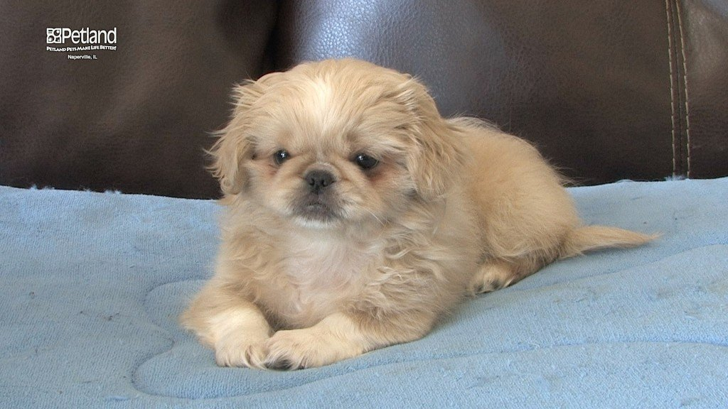 Female Pekingese