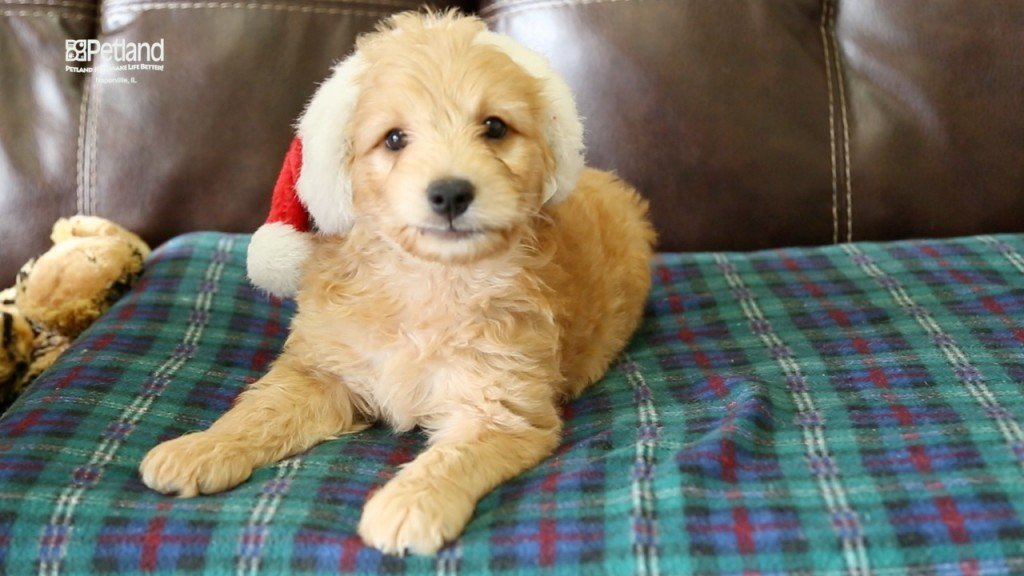 Male Mini Goldendoodle