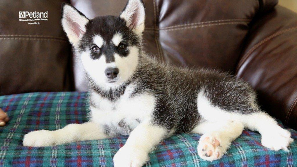 Puppies Sales Of All Breeds Petland Naperville