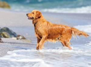 Petland Naperville   Golden Retriever: The Family Dog