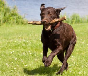 Petland Naperville | What You Need To Know About A Labrador Retriever