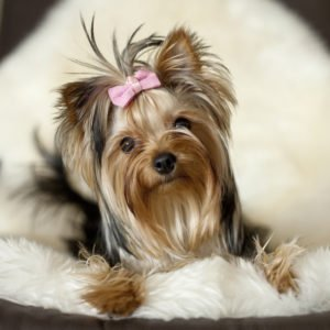 Petland Naperville | Yorkshire Terrier Puppies For Adoption
