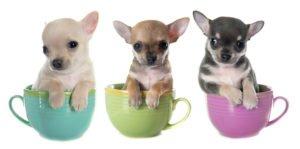 Petland Naperville Chihuahua Puppies