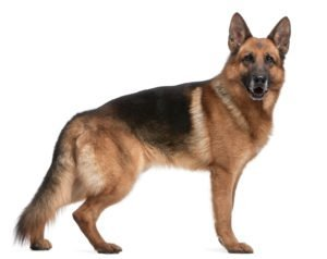 Petland Naperville German Shepherd Dog