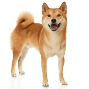 Petland Naperville | Learn About Owning a Shiba Inu