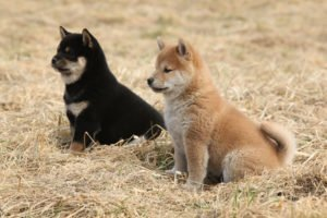 Petland Aurora Shiba Inu Puppies