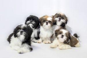 Petland Naperville Shih Tzu puppies