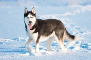 Petland Naperville | All About the Siberian Husky