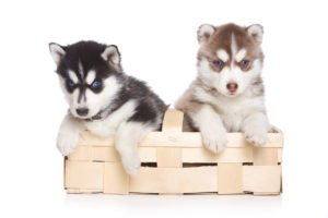 Petland Naperville Siberian Husky Puppies