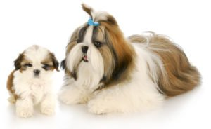 adult & puppy Shih Tzu