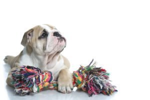 bulldog with a safe puppy toy