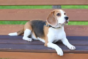 Beagle on a Bench