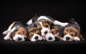 Petland Naperville Beagle Puppies
