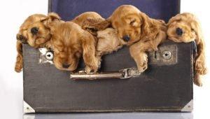 Petland Naperville Cocker Spaniel puppies