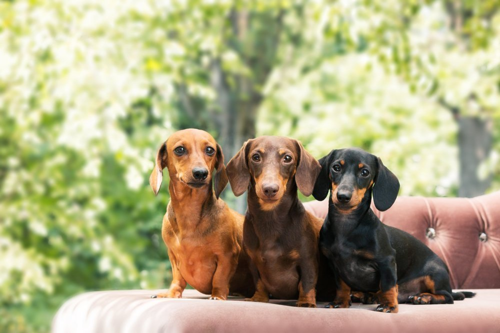 All About The Dachshund Petland Naperville