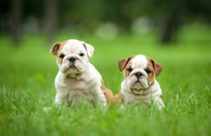 Petland Naperville English Bulldog puppies