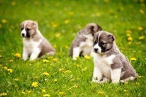 Petland Naperville Puppies