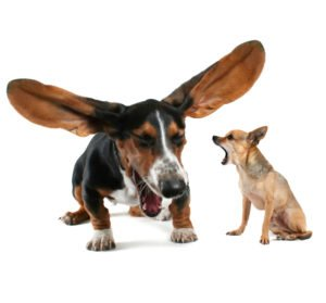 petland naperville basset hound and chihuahua