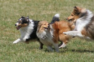 Adult Shetland Sheepdogs at Petland Naperville