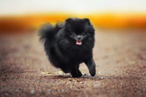 Black Pomeranian Puppies at Petland Naperville