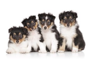 Shetland Sheepdog Puppies at Petland Naperville