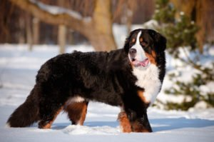 bernese mountain dog petland