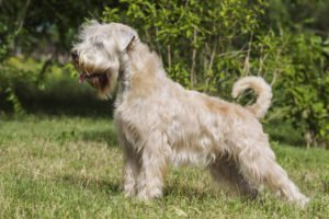 About Soft Coated Wheaten Terriers