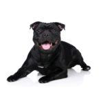 Petland Naperville Staffordshire Bull Terrier