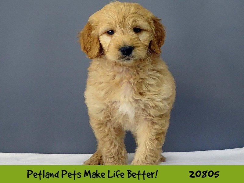 Golden Retriever-DOG-Male-Golden-2026072-Petland Naperville