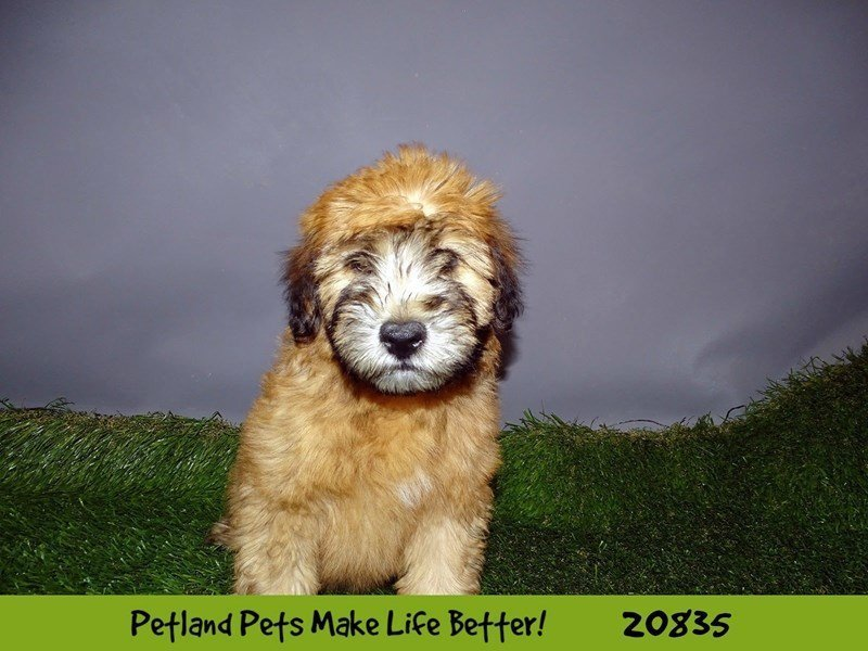 Soft Coated Wheaten Terrier-Male-Wheaten-2031531-Petland Naperville