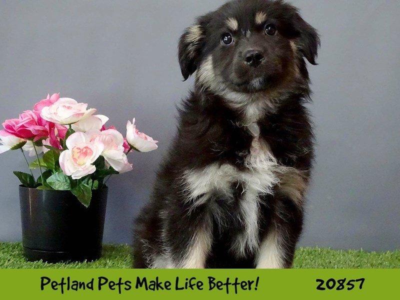 Australian Shepherd-DOG-Female-Black-2037446-Petland Naperville