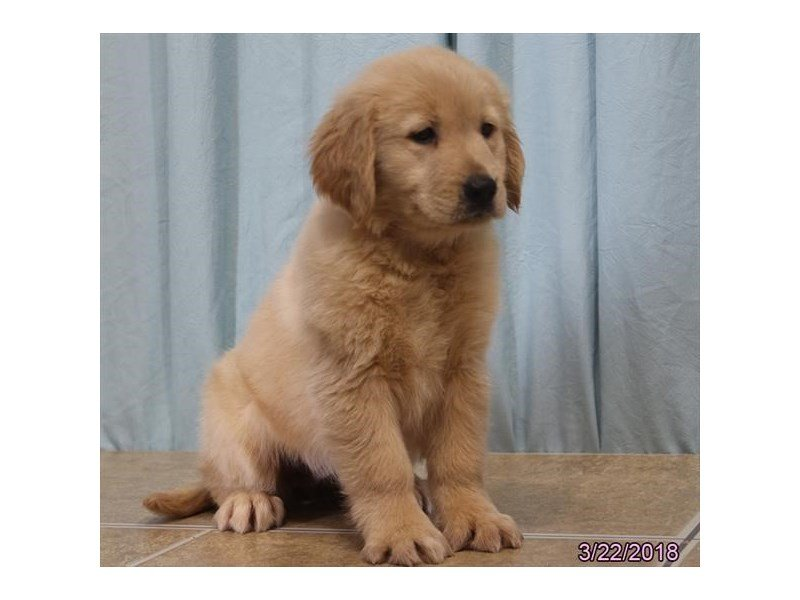Golden Retriever-DOG-Female-Golden-2047241-Petland Naperville
