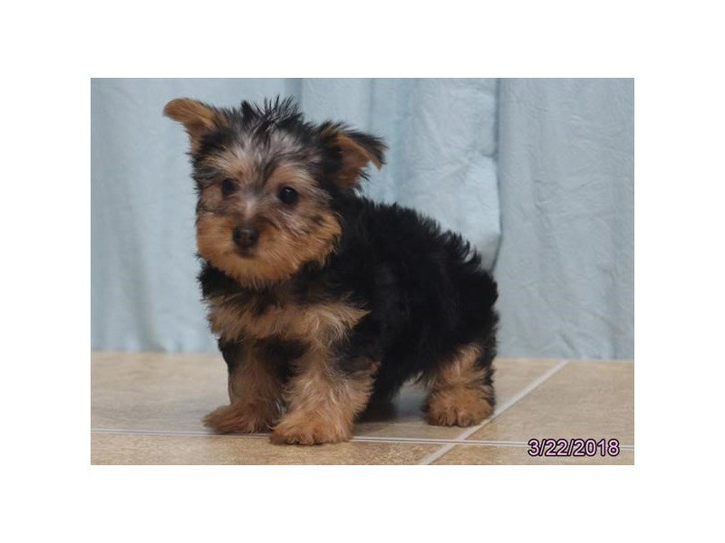 Silky Terrier-Female-Black / Tan-2047257-Petland Naperville