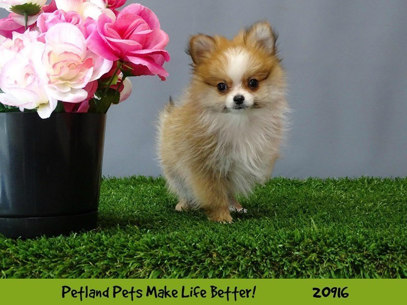 Pomeranian-DOG-Female-Red & White-2054911-Petland Naperville