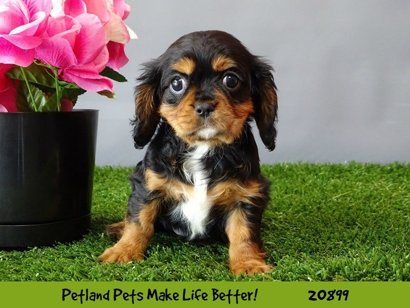 Visit Cavalier King Charles Spaniel Puppies For Sale Near Berwyn