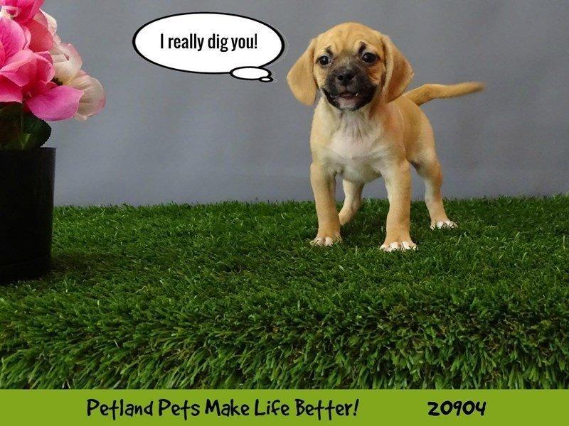 Puggle-Female-Fawn-2054753-Petland Naperville