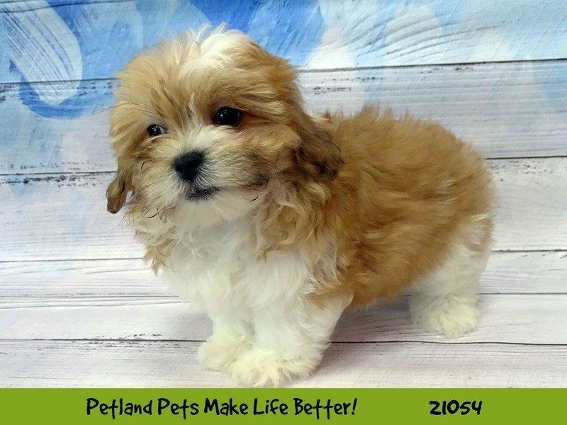 Teddy Bear-DOG-Male-Brown / White-2085353-Petland Naperville