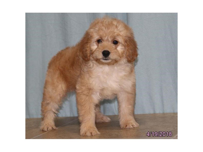 Goldendoodle Mini