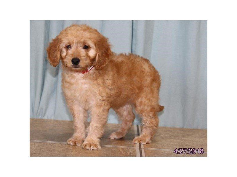 Goldendoodle Mini