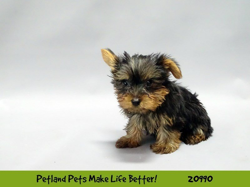 Visit Our Yorkie Puppies For Sale Near Joliet Illinois Petland