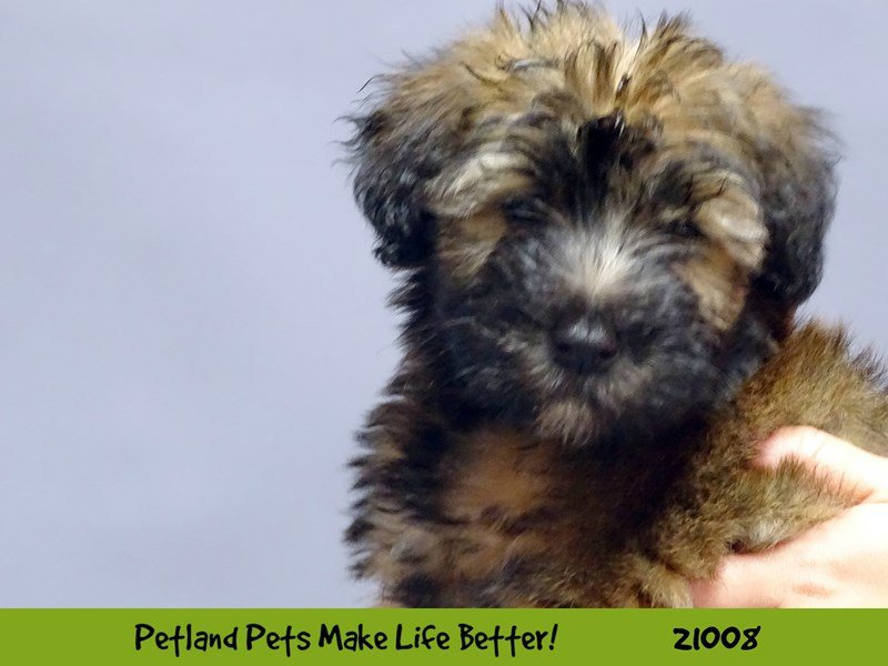 Soft Coated Wheaten Terrier-Female-Wheaten-2075450-Petland Naperville