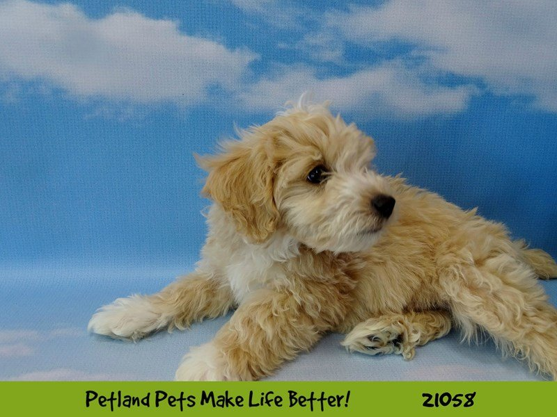 Maltipoo-Male-Light Apricot-2090191-Petland Naperville