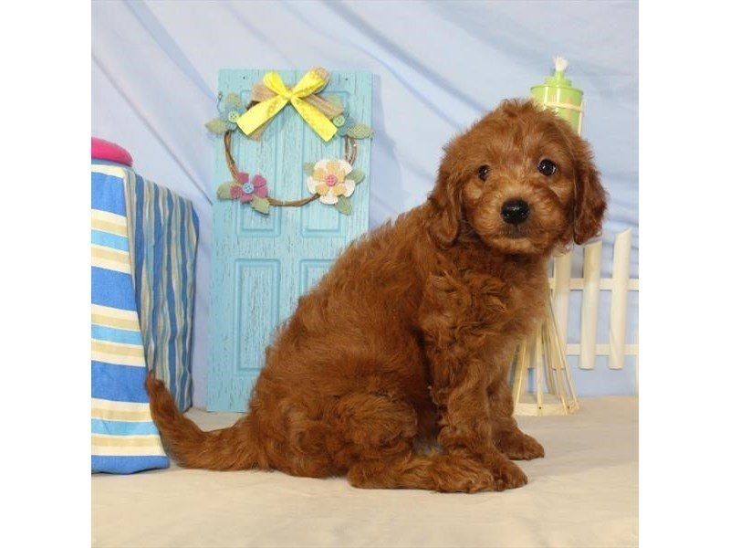 Visit Our Mini Goldendoodle Puppies For Sale Near Bloomington Illinois