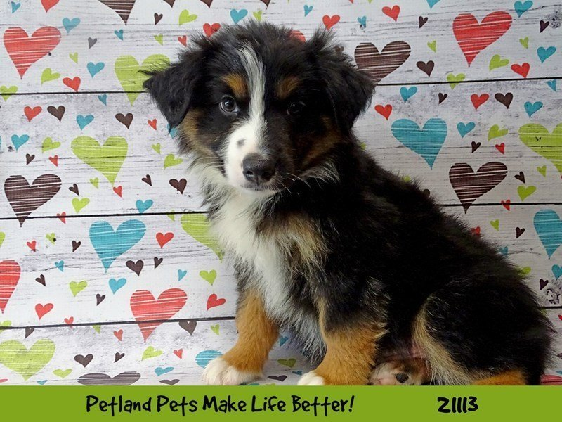 Visit Our Mini Australian Shepherd Puppies For Sale Near Bloomington