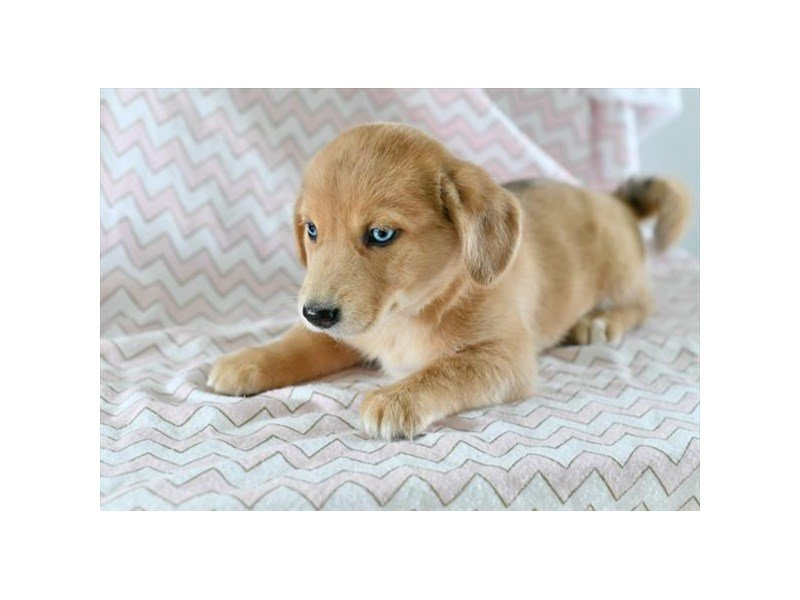 Siberian Husky/Dachshund