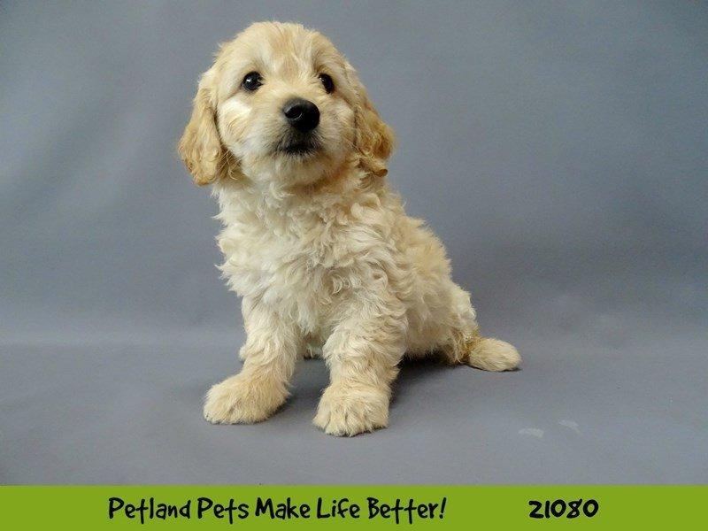 F1 Mini Golden Doodle-DOG-Female-LIGHT GOLDEN-2094841-Petland Naperville