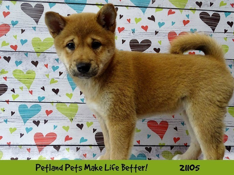 Shiba Inu-DOG-Female-Red Sesame-2099876-Petland Naperville