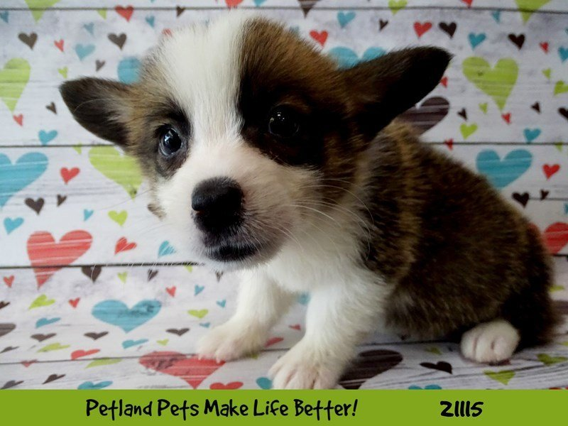 Visit Our Pembroke Welsh Corgi Puppies For Sale Near Bloomington