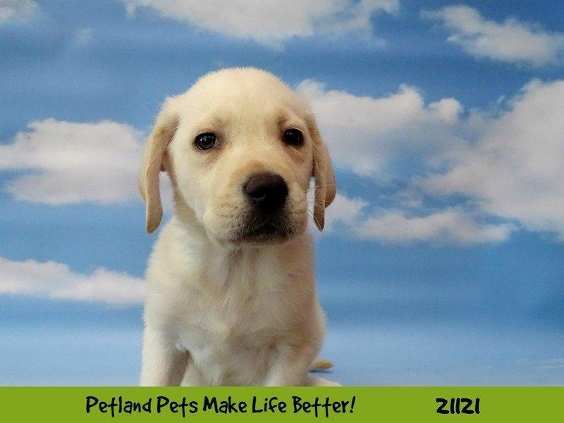 Labrador Retriever-DOG-Male-Yellow-2105301-Petland Naperville