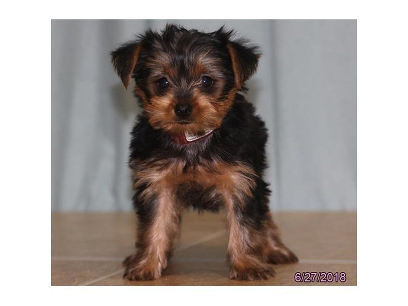 Visit Our Yorkie Puppies For Sale Near Springfield Illinois
